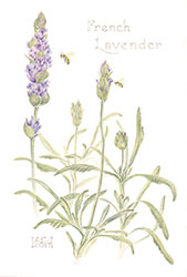 lavendar with bee